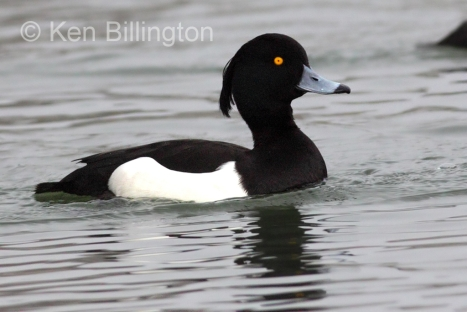tufted-duck-aythya-fuligula-11