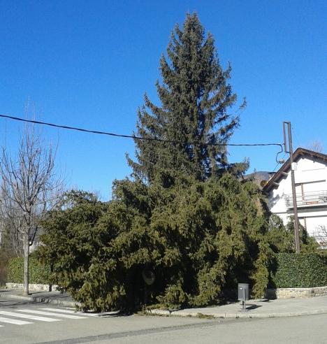 Un dels molts arbres aterrats. Si arriba a bufar de sud l'hauria abrigat sobre la casa.