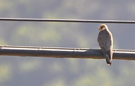 Falco vespertinus femella