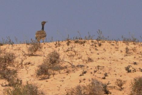 Una de les 7 hubares observades a prop de Famara.