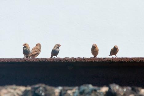 Grup de pinsans trompeters. Els exemplars marrons són joves de l'any, mentre que el del bec vermell és un mascle adult.